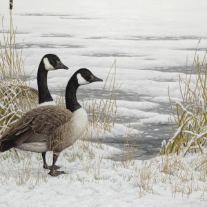 Canada Geese – Snow Bound