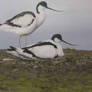 X(SOLD) Avocets
