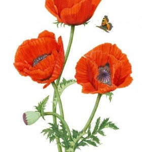 (ref b) Oriental Poppies