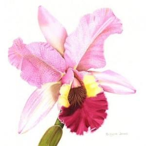 (ref b) Cattleya Orchid