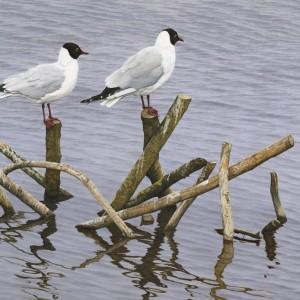 Black Headed Gulls – Watery Perch