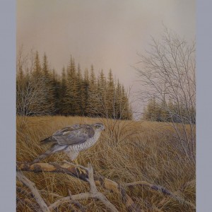 Signed Limited Print – Sparrowhawk