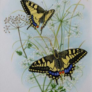 X (SOLD) (ref a) Swallowtail Butterflies amongst Milk Parsley
