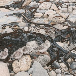 High Tide Roost – Sanderlings