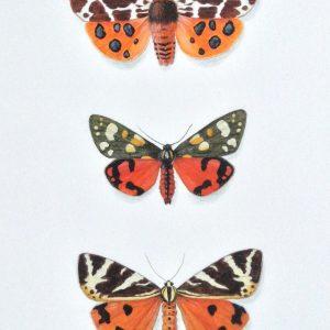 (ref b) Tiger Moths – Garden Moth, Scarlet Moth, Jersey Moth