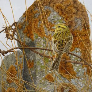 A Yellowhammer